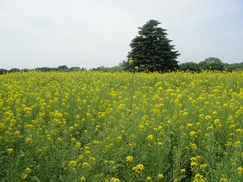 20120526昭和記念公園なのはな.JPG