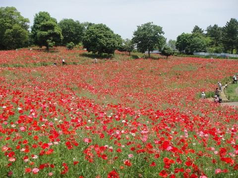 20120526昭和記念公園シャーレーポピー.JPG